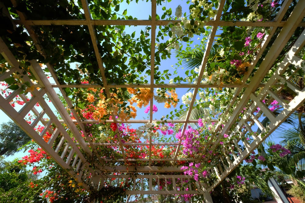 Pergola med vedbend and flowers.
