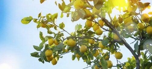 Citrontræer i solskin