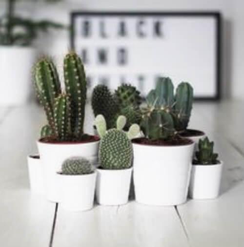 Små kaktusser på et bord