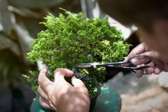 Trimning af bonsaitræ.