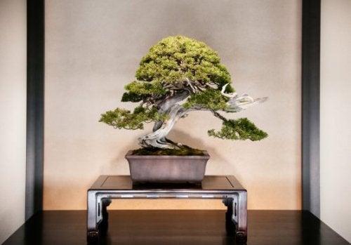 Indretning med bonsaitræer og hvordan du tager dig af dem