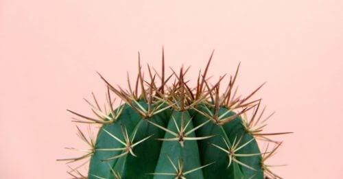 Kaktus mod rosa baggrund.
