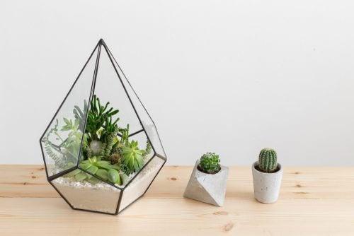 Kaktusser i potter.