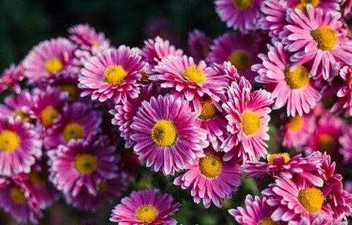 Pynt din have med flotte krysantemumblomster
