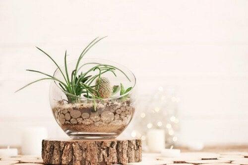 Pynt dit terrarie med sukkulenter
