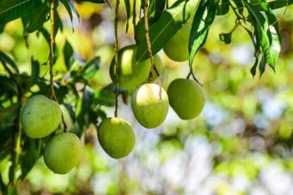 Tropiske planter: Mangotræ.