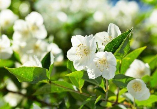 Jasminblomsten er blandt de skønne plantearter til din have