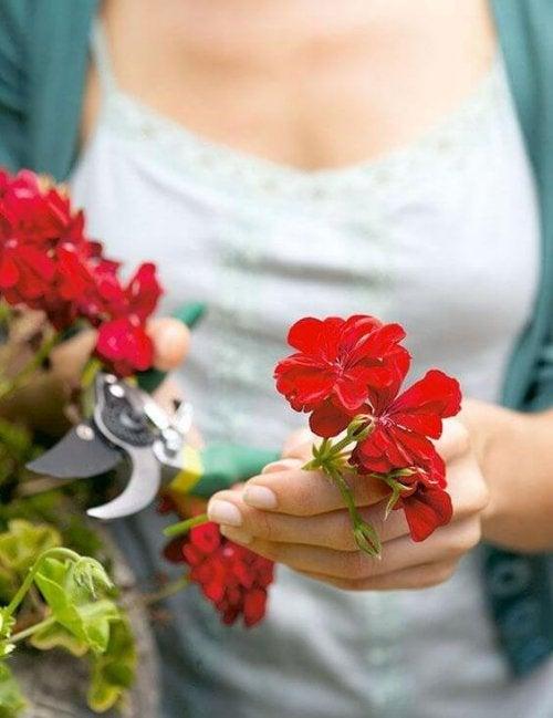 kvinde der beskærer blomster