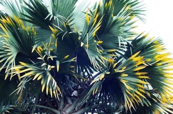 Palmetræ.