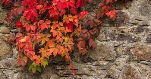 klatreplanter med rødlige blade