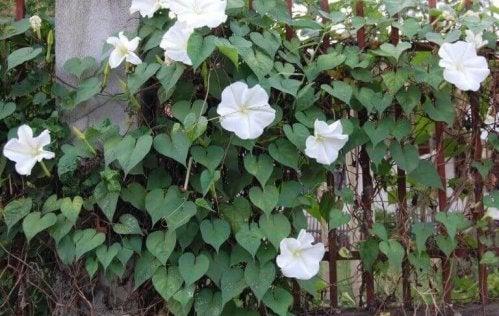 planter med hvide blomster