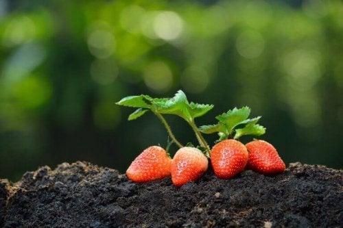 friske jordbær på jord