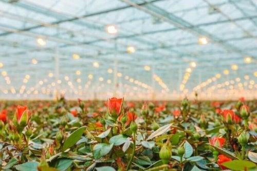 roser i et drivhus