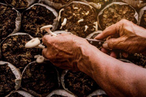 Vær forsigtig, når du høster dine svampe, så du ikke skader resten af afgrøden.