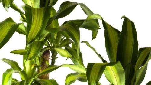 duft-dracænaen er en plante der kan benyttes til at rense luften i hjemmet