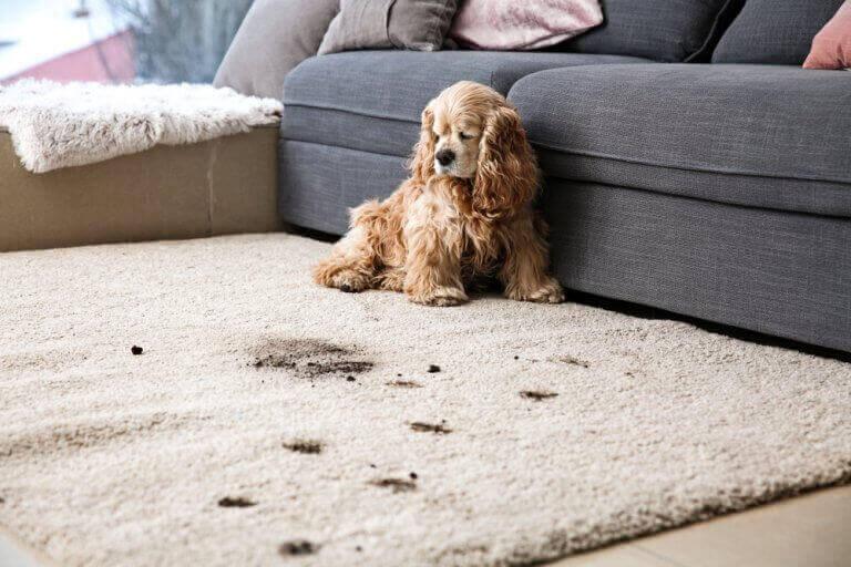 hund der har lavet pletter på tæppe