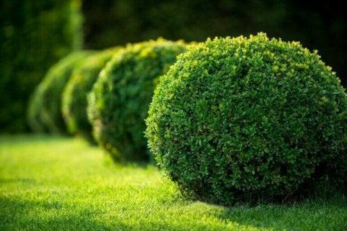planter kan opdeles efter deres grundlæggende form. på billedet ses runde buske