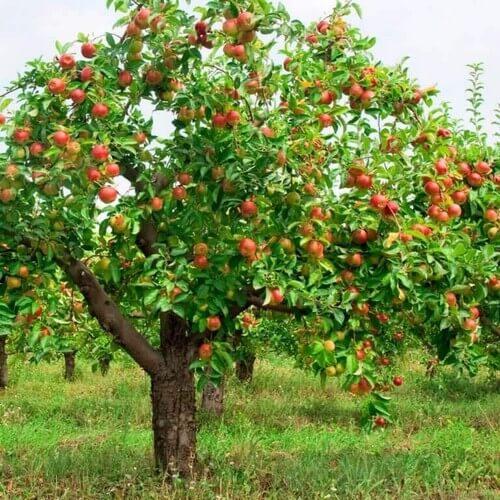 Et stort æbletræ i haven