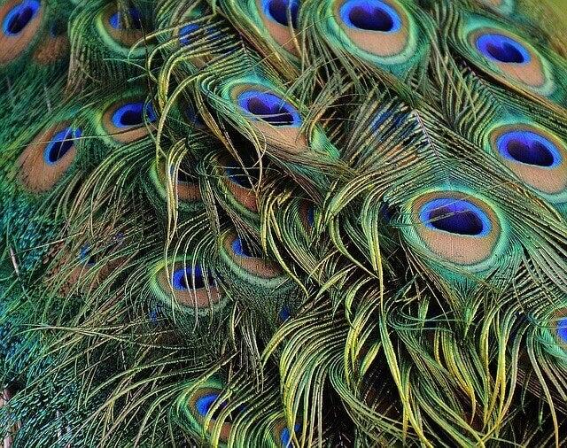 påfuglefjer