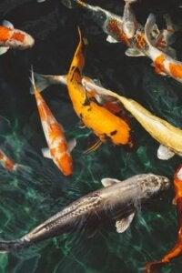 fisk til havedamme