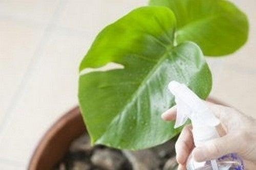 Husplante bliver sprøjtet for at beskytte mod skadedyr og sygdomme