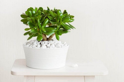 Jadeplanten repræsenterer velstand