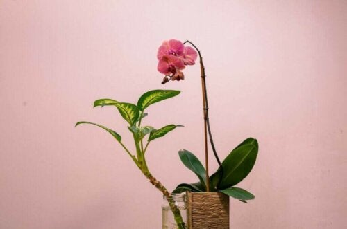 Kan du godt lide orkidéer? Lær, hvordan du skal pleje dem