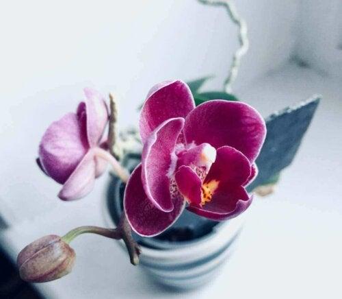 orkidé i potte