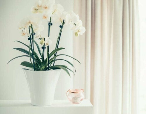 tips til at pleje orkidéer