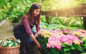 Frau pflegt ihre Hortensien