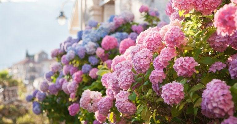 Hortensien im Garten richtig pflegen