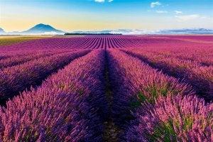 Großes Lavendelfeld