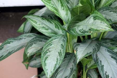 Diese Sorte aus der Familie der Araceae ist sattgrün und im Sommer blühen weiße Blüte.