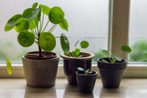 Der wissenschaftlicher Name dieser Pflanze ist Pilea Cadierei, aber sie ist allgemein als Pilea bekannt.