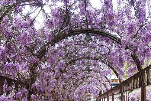 Die chinesische Wisteria ist berühmt für ihre lila Blüten und ihren schönen Duft, der die Sommerluft erfüllt.