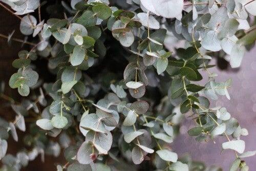 Mit Eukalyptus dekorieren und Frische ins Haus bringen