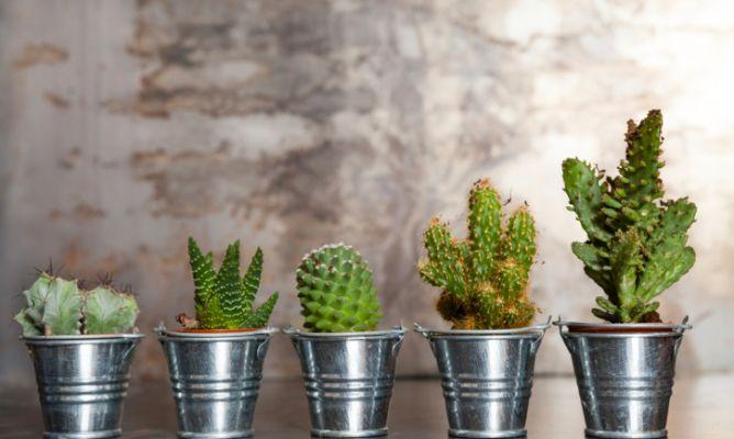 Cactus en un jardín de bajo mantenimiento