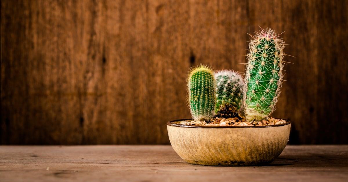 Cactus pequeño en maceta de madera