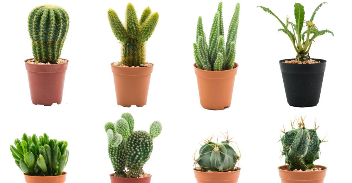 Clases de cactus