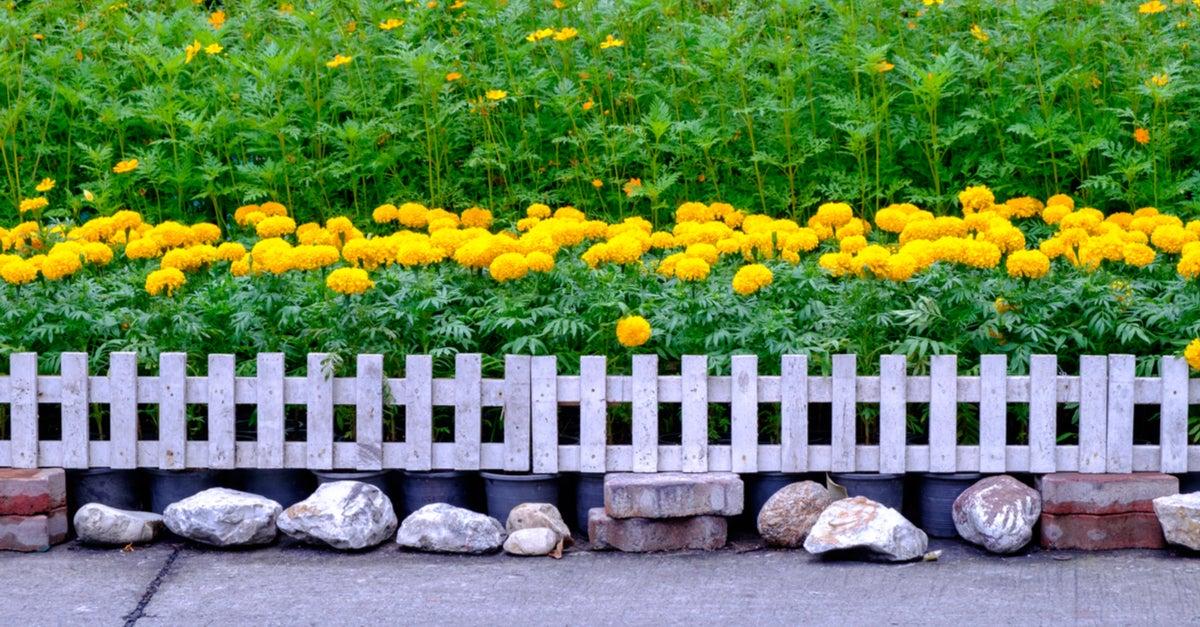 Planta caléndula para exterior