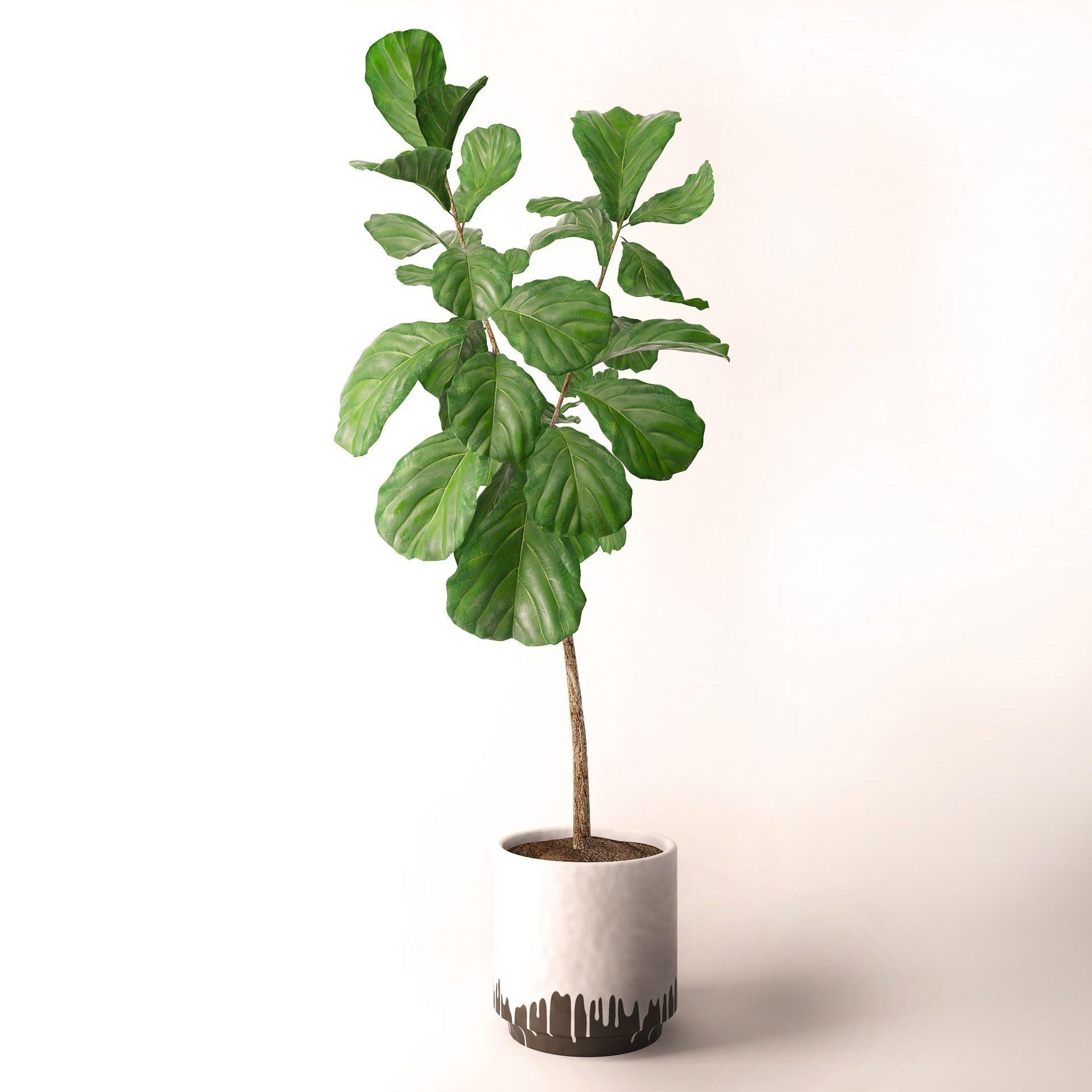 Planta ficus en maceta blanca