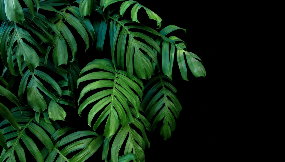 Planta tropical monstera