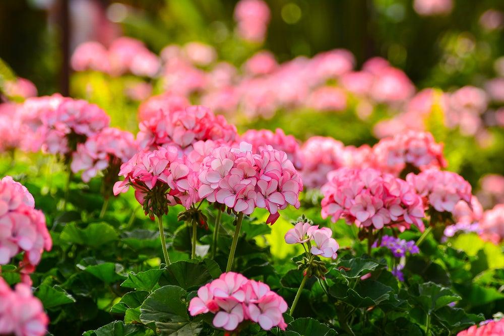 Begonias con flores rosas para exterior.
