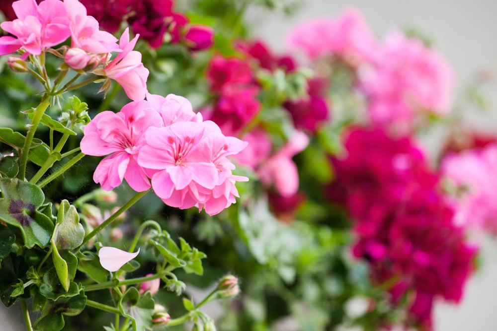 Geranios con de flores rosas y rojas para tu jardín.