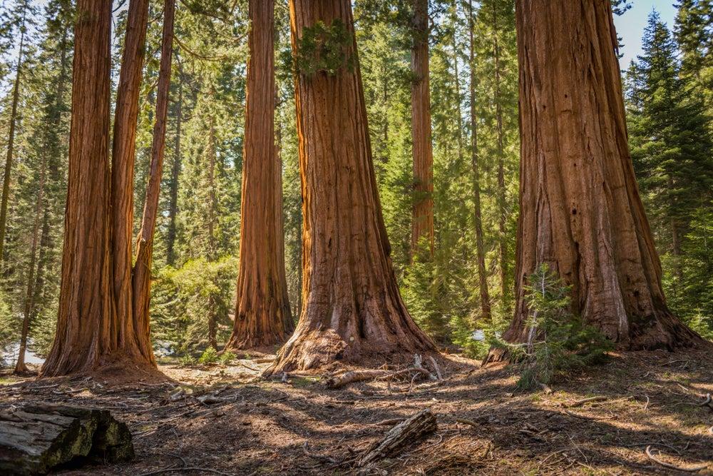 Madera de sequoia.