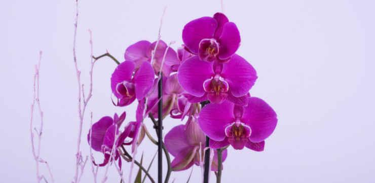 Orquídea de flores color lila.