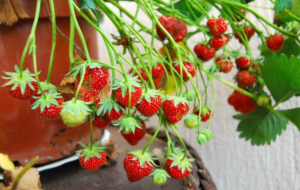 Maceta de fresas.