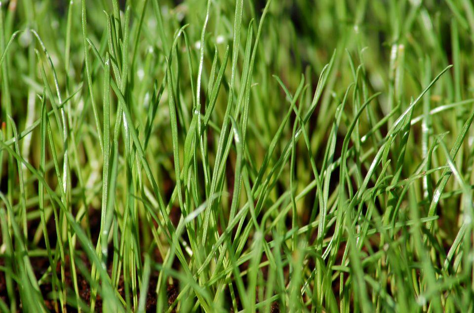 Rye Grass césped.