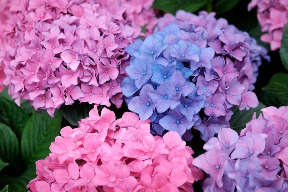 Tipos de hortensias de distintos colores: rosa, lila y azul.