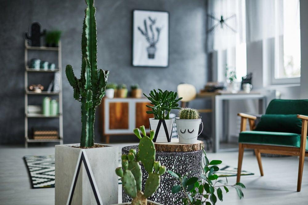 Cactus para climas secos.